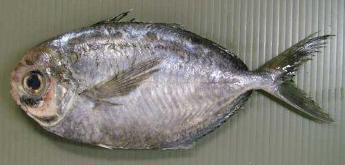マルイボダイの生物写真