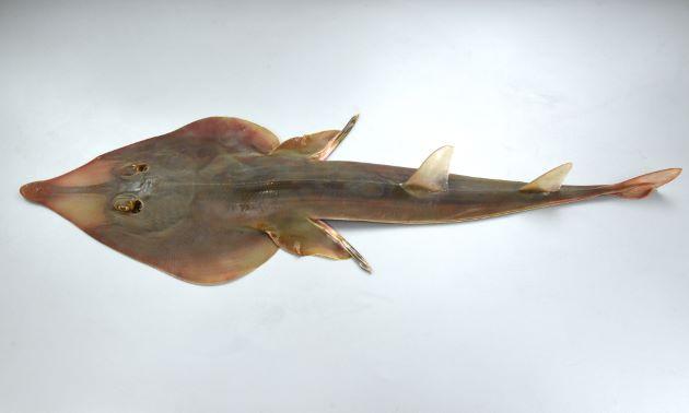 サカタザメの形態写真