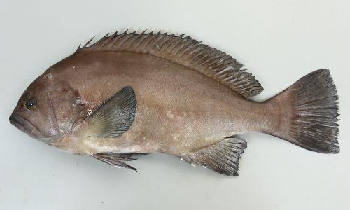 トビハタの生物写真