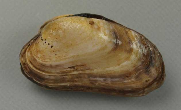 殻長5センチ前後になる。殻頂は前方にあり、表面は滑らかで成長脈がある。放射肋はない。