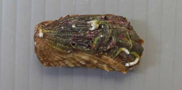 トマヤガイの形態写真