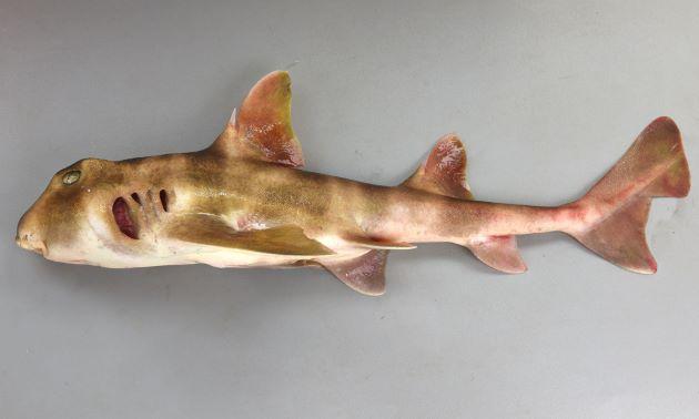 ネコザメの形態写真