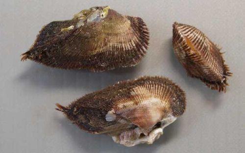 3センチ前後になる。小型で膨らみが強く、貝殻に殻皮があり毛状になる。やや角張る。