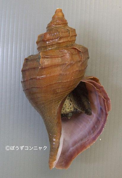 クリイロエゾボラの形態写真