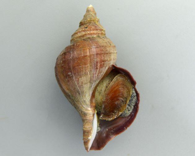 15cm SL 前後になる。エゾボラ属のなかでは殻の質、色合いなどが安定している。殻は硬く薄い。色合いは栗色で、殻口は紫。形は丸いもの、角張るものなど多彩。螺肋(貝殻にある筋)はあまり目立たず少ない。成長脈はときに強く盛りあがって割けて浮き上がることがある。