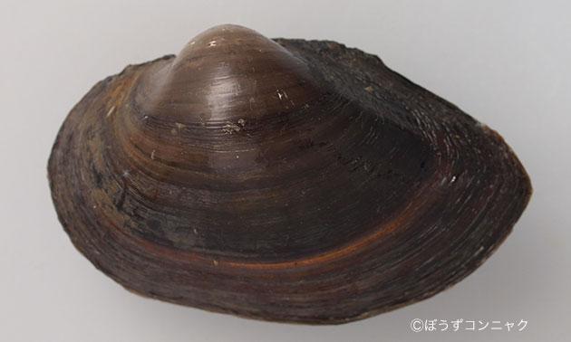 殻長8センチ前後になる。丸みを帯びてよく膨らむ。