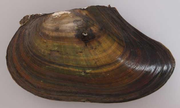 メンカラスガイの形態写真