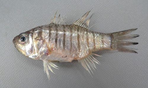 体長10cm前後になる。タイ型で褐色の横縞が並ぶ。頭部に硬い耳石を持つ。