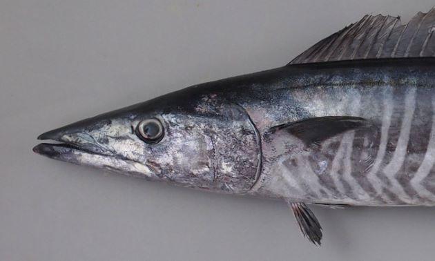 2.2m TL を超える。体表は小さな円鱗で覆われており、若魚の頃までは黒い横縞が無数にある。成魚になると横縞は消える。腹鰭と尻鰭は離れていて、小さい。小さな離鰭が尾鰭前方に並ぶ。