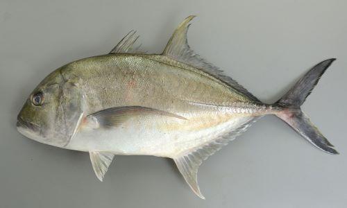 体長1mを超える。よく似た魚にイトウオニヒラアジ、オニヒラアジがいるが頭から吻にかけて丸みがある。