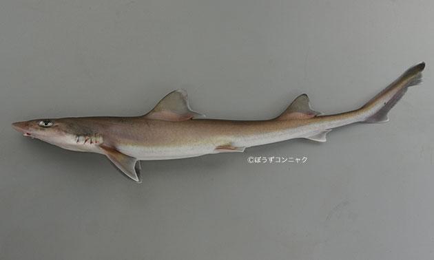 シロザメの形態写真