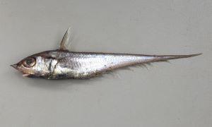 キュウシュウヒゲのサムネイル写真