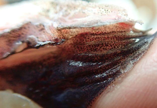 鰓条骨は6。