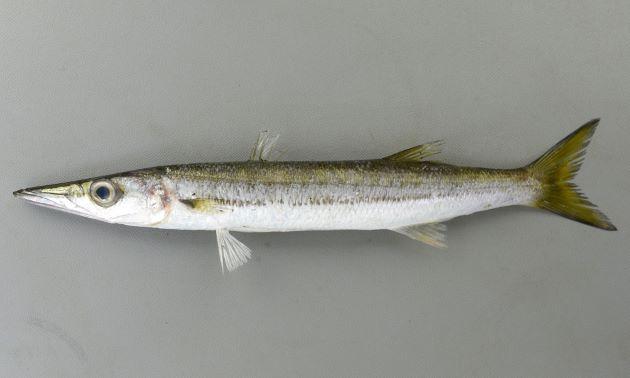 体長50cmを超える。腹鰭は第一背鰭基部よりも前にある。体側に不明瞭な暗色の縦縞が2本あり、尾鰭近くてひとつになり側線と重なる。鱗が大きく取れやすい。第一鰓弓の鰓耙は2。
