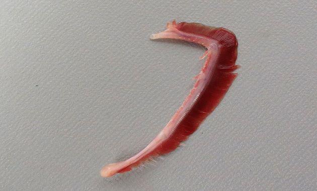 第一鰓弓の鰓耙は2。