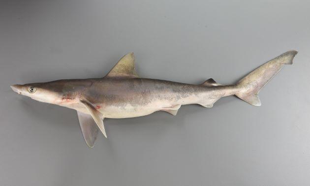 スミツキザメの形態写真
