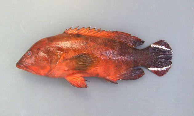 体長22cm前後になる。尾鰭は丸く、斜めに走る白い筋模様が2本ある。