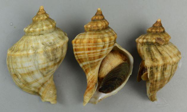 殻長(貝殻の高さ)10cm前後になる。貝殻はずんぐりしたこぶし状。やや肩が張り、結節列(肩にあるコブ状の突起)が目立つ。これがときに割れて板状に小さなヒレを作る。貝殻には縞模様がある。