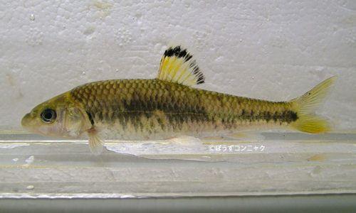 ビワヒガイの生物写真