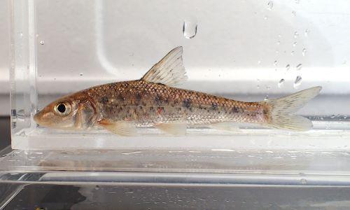 体長30cmを超える。非常に大型になる。成魚は体側に斑紋などはない。[幼魚、秋田県雄物川産]
