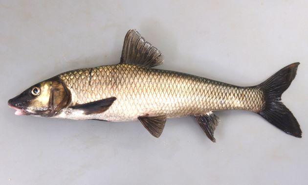 体長30cmを超える。非常に大型になる。成魚は体側に斑紋などはない。[成魚、琵琶湖産]