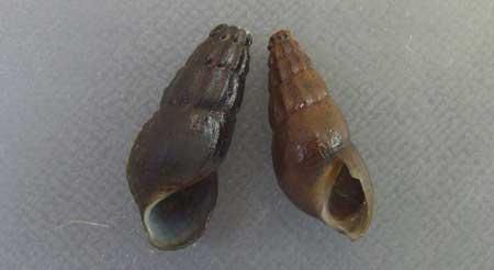 クロダカワニナの形態写真