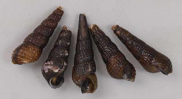 カゴメカワニナの形態写真