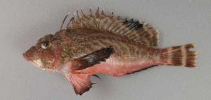 ヒメオコゼのサムネイル写真