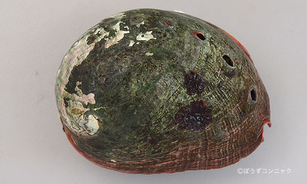 アカネアワビの形態写真