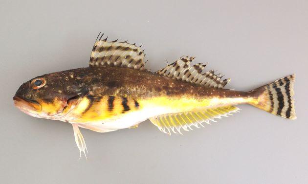 体長30cm前後になる。紡錘形で頭が大きく後方にいくほど細くなる。背は褐色で腹側上部は黄色い。頭部平面に骨質板があり、背面から目の間、吻の近くまで続く。目と目の間はまばらに骨質板がある。胸鰭、尾鰭には同じ幅の黒い横縞がある。尾鰭は少し湾入する。