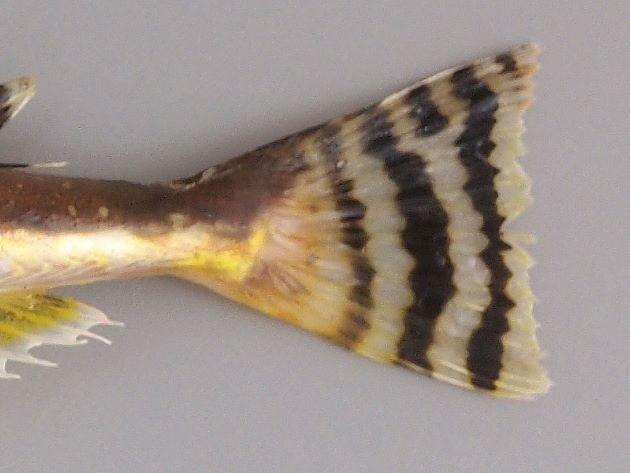 尾鰭は湾入して褐色の一定幅の帯がある。