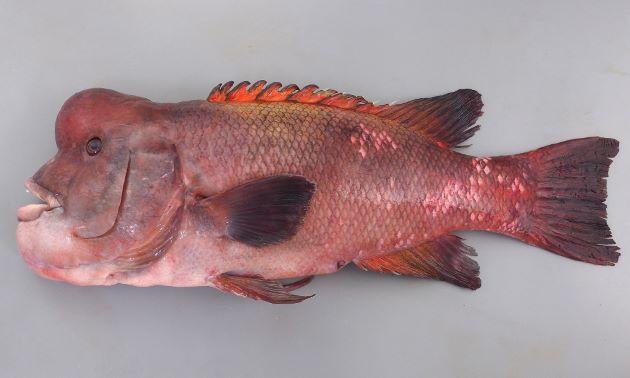 体長1m前後になる。背鰭棘は12・軟条は9-11。大きくなるにしたがい前頭部が張り出してくる。幼魚は体側に色合いの薄い縦縞がある。[体長80cmの成魚]