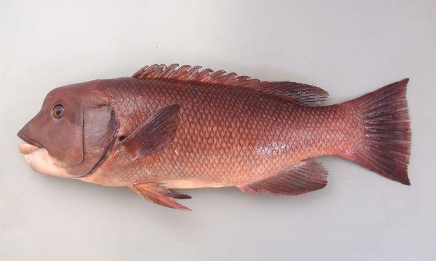 体長1m前後になる。背鰭棘は12・軟条は9-11。大きくなるにしたがい前頭部が張り出してくる。幼魚は体側に色合いの薄い縦縞がある。[体長50cm]