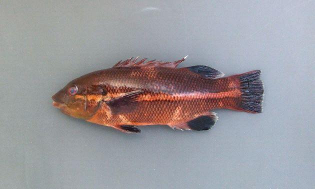 幼魚は体側に色合いの薄い縦縞がある。[体長25cmの幼魚]