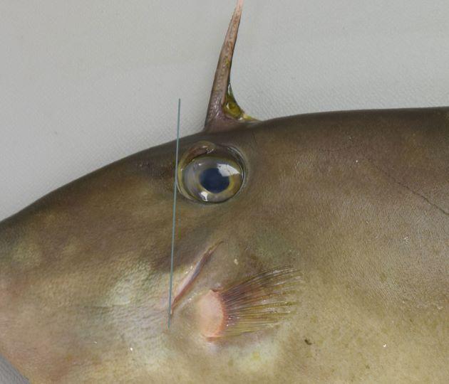 鰓孔(目の下にある斜め前方に裂け目)の前端は目の前端と同じ位置(直下)に達する。