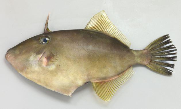 キビレカワハギの形態写真