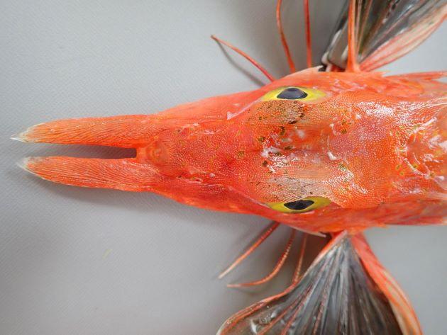 SL 35cm前後になる。断面は四角形に近い紡錘形。上膊棘と吻棘は非常に長い。