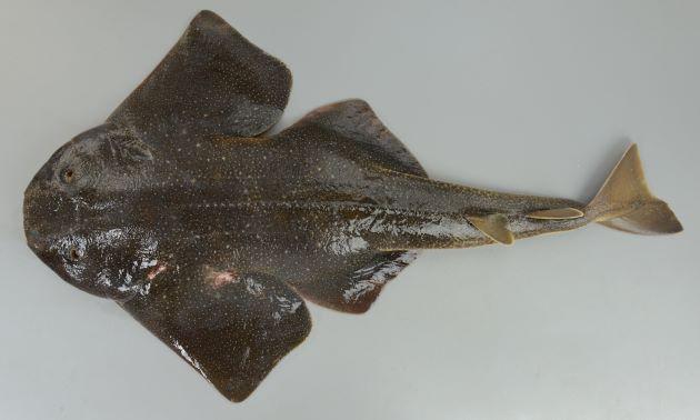 カスザメの形態写真