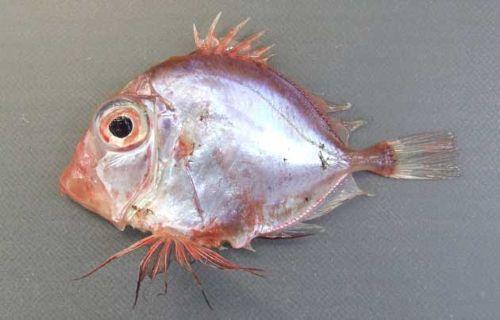 カゴマトウダイの生物写真