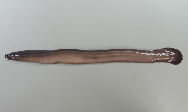 全長50cm前後になる。吻の髭は3対。吻端に外鼻孔があり口は裂孔状。外鰓孔は6対でそれぞれが隣接する。