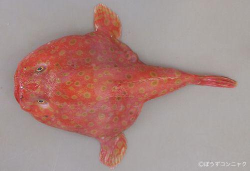 ミドリフサアンコウの生物写真