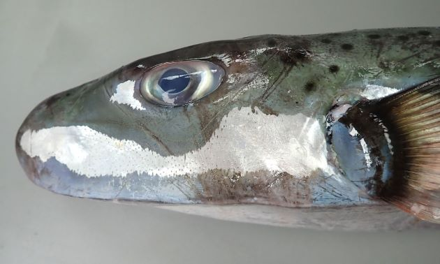 SL 1m 前後になる。紡錘形で背部分頭部から尾にかけて黒い斑紋が点在する。尾鰭は湾入。