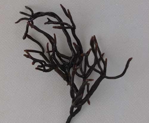 イシゲの形態写真