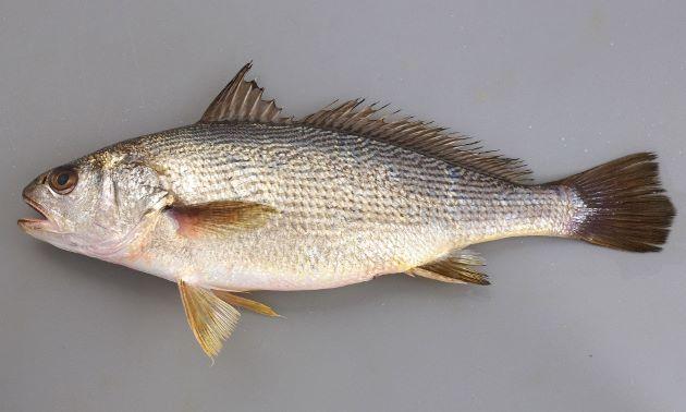 50cm前後になる。吻(口の先)は短い。側線上に背鰭に向かって斜めに規則正しく走る褐色の斑紋がある。