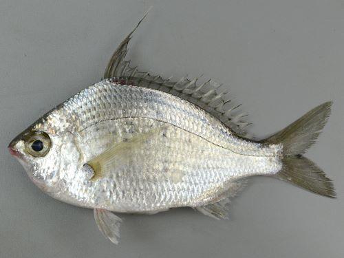 体長25cm前後になる。背鰭第2棘は非常に長い。体側にうっすらと楕円形薄い黒い斑紋が横に並ぶ(鱗を取ると分かりやすい)。主上顎骨後端は瞳の前縁のラインに近い。