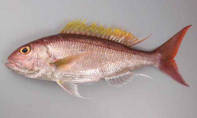 70cm SL cm前後になる。紡錘形で細長く体側に模様がない。吻から目の下方にかけて2から3本の青色点列と黄色縦帯がある。頭部背面には黄褐色の不規則な筋模様がある。背鰭に欠刻がなく鱗に覆われない。