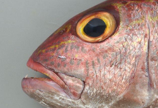 吻から目の下方にかけて2から3本の青色点列と黄色縦帯がある。