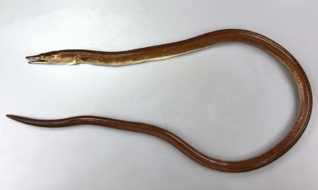 TL1.4m前後。かなり大きくなるように思える。胸鰭があり、尾鰭がない。歯が犬歯状。