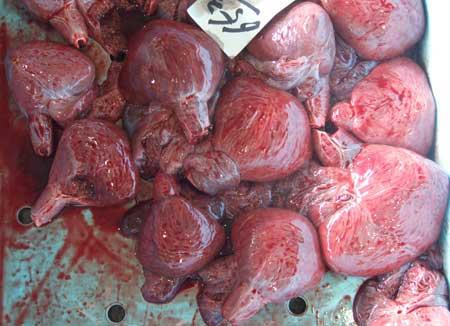 ネズミザメのホシ(心臓)
