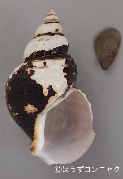 チカオヤゲンバイの形態写真